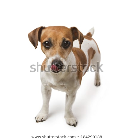 an adorable mixed breed dog licking his lips stock photo © vauvau
