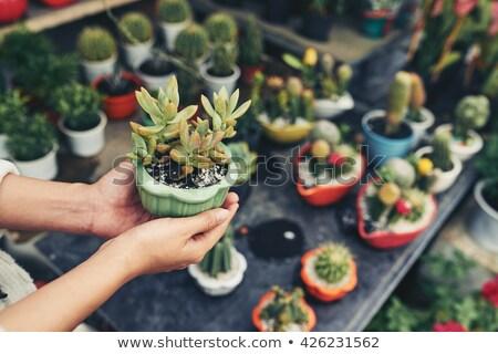 Kéz tart nedvdús növény zöld izolált Stock fotó © neirfy