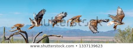 Falcão vôo pássaro digital animal ramo Foto stock © pictureguy