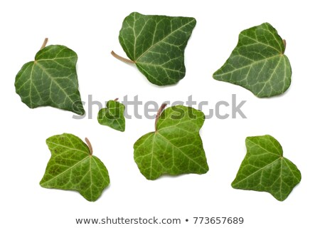 Closeup shot of green ivy background Stock photo © Nobilior
