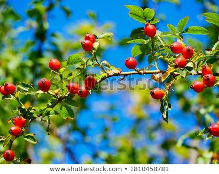 ramo · rosa · quadris · isolado · branco · folha - foto stock © digifoodstock