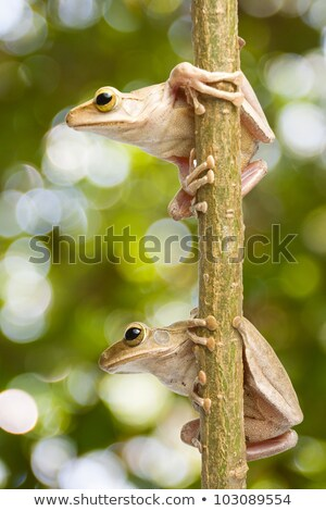 tiny tree frog climbing on a branch Stock photo © taviphoto