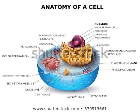 Sejt struktúra keresztmetszet részletes színes anatómia Stock fotó © Tefi