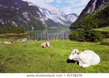 Vacche bella alpino panorama mucca Foto d'archivio © fyletto