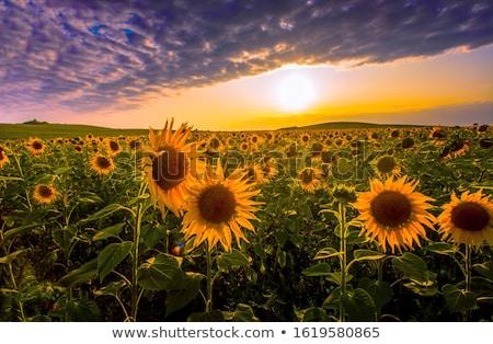 Picturesque sundown Stock photo © timbrk