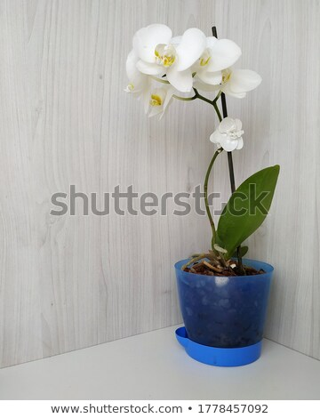 Orchid in flowerpot Stock photo © photocreo