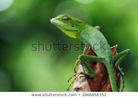 amarelo · verde · lagarto · pedra · beleza · palma - foto stock © pakhnyushchyy