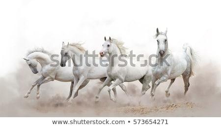 horse white Stock photo © mariephoto