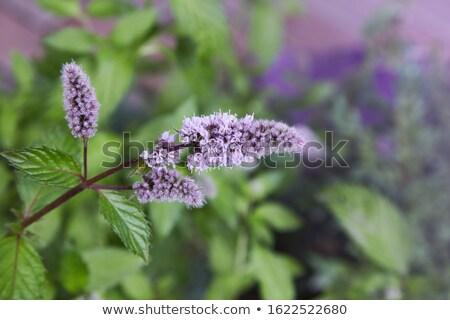 開花 ミント 白 葉 緑 新鮮な ストックフォト © Masha