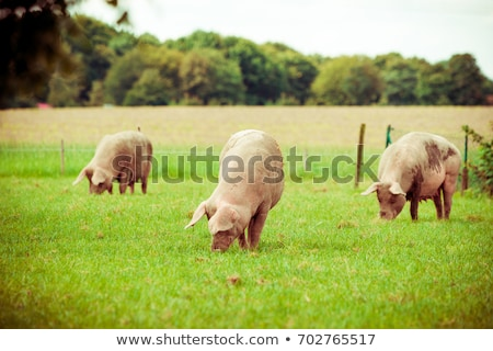 Pigs in a meadow Stock photo © smuki