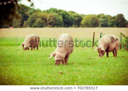 jonge · boerderij · outdoor · shot · vlees · varken - stockfoto © smuki