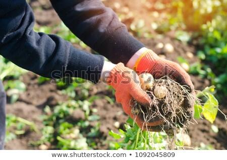 Patate dettagliato guardare alimentare terra Foto d'archivio © hraska