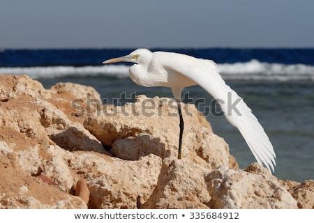 Westerse reiger vlucht Blauw afrika eiland Stockfoto © davemontreuil