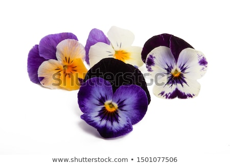 Stock photo: Purple Pansy