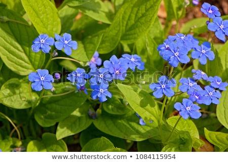 Niebieski kwiaty wiosną charakter liści Zdjęcia stock © tainasohlman
