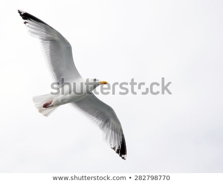 soaring seagull stock photo © bsani