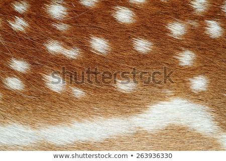 fallow deer pelt detail Stock photo © taviphoto