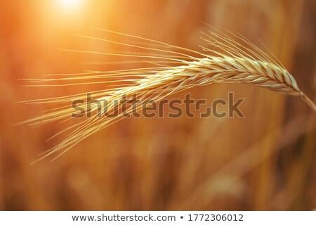 Oor gouden veld voedsel landbouw Geel Stockfoto © Hochwander