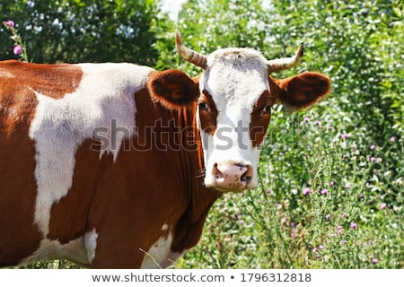 brown and white cow grazing in the green grass Stock photo © compuinfoto