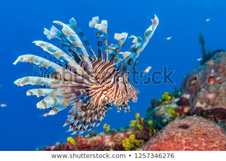 Pterois volitans, Lionfish Stock photo © michaklootwijk