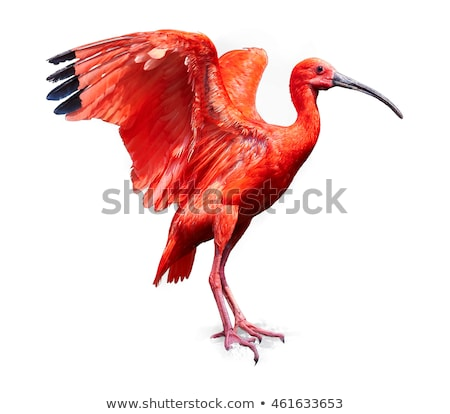 Scarlet Ibis bird Stock photo © Klinker
