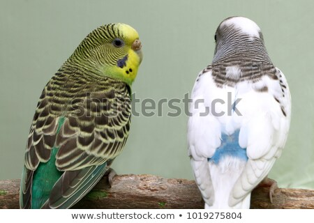 A loving parakeet couple sitting on a branch Stock photo © vanTienen