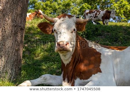 Vee koeien weide natuur veld vlees Stockfoto © tilo