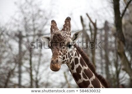Tête adulte girafe zoo portrait Photo stock © mcherevan