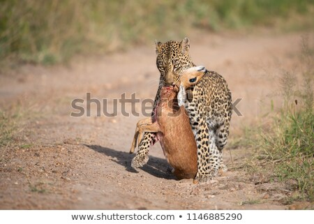 Leopard walking towards the carcass  stock photo © simoneeman