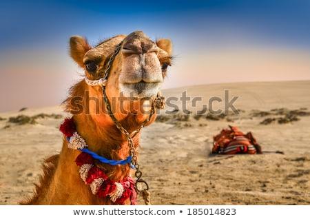 смешные верблюда пустыне иллюстрация закат флаг Сток-фото © adrenalina