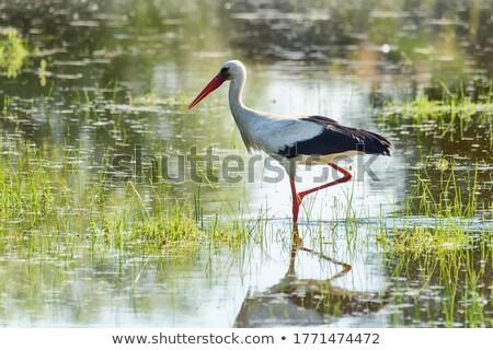 Sétál gólya néz étel néz gyönyörű Stock fotó © romvo