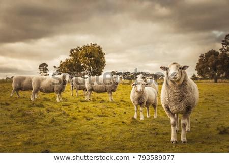 Jesienią krajobraz owiec góry drzewo Zdjęcia stock © Kotenko
