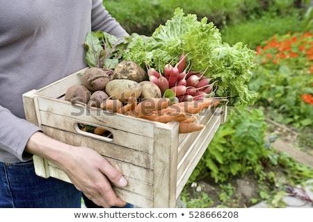 Raiz de beterraba vegetal jardim comida verde cor Foto stock © Alex9500