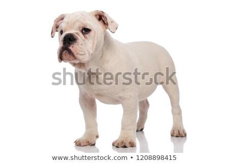 Cute nudzić angielski bulldog strona Zdjęcia stock © feedough