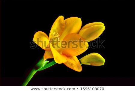 Narcis bloemen zwarte illustratie natuur achtergrond Stockfoto © colematt