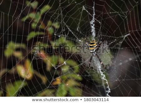 A large spider with yellow stripes on a cobweb in the garden. Spider garden-spider lat. Araneus kind Stock photo © galitskaya