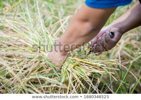 indonezyjski · rolnik · pracy · zielone · trawy - zdjęcia stock © frameangel