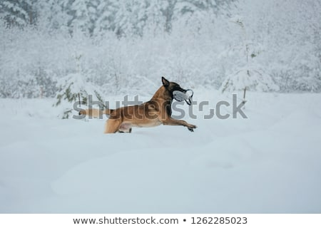 malinois in the snow Stock photo © cynoclub