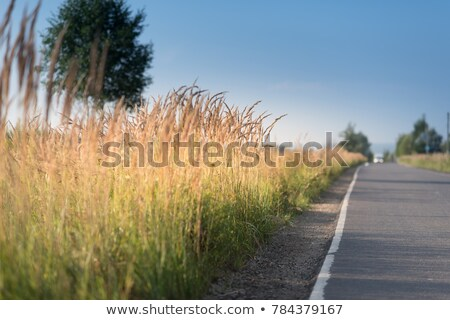 solitary spike dry grass Stock photo © marekusz