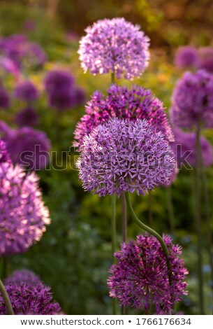 purple allium plant stock photo © sirylok