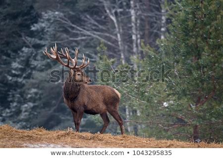 鹿 · バック · 森林 · 自然 · 肖像 · 公園 - ストックフォト © taviphoto