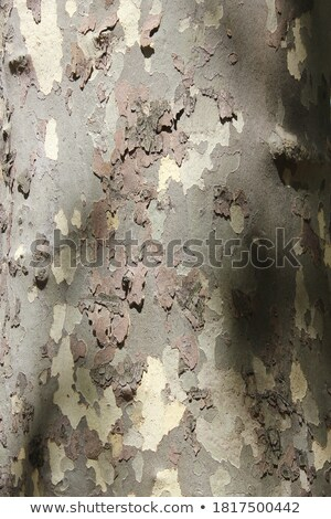 eucalyptus background 02 Stock photo © LianeM