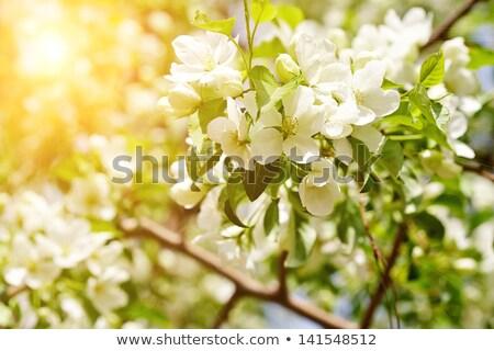 Bahar elma ağacı çiçekler bo elma arka plan Stok fotoğraf © chesterf