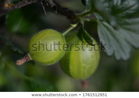 Gooseberry on a branch Stock photo © Roka