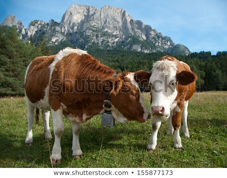 two young simmentaler dairy cows stock photo © creisinger