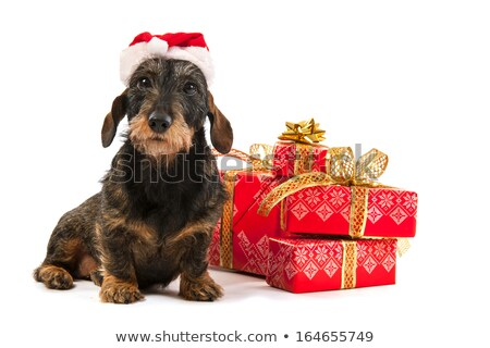 Wire haired dachshund with Christmas bow Stock photo © ivonnewierink