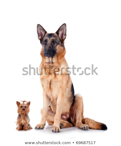 Small dog, big ears Stock photo © c-foto