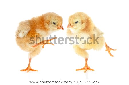 two funny hens Stock photo © taviphoto