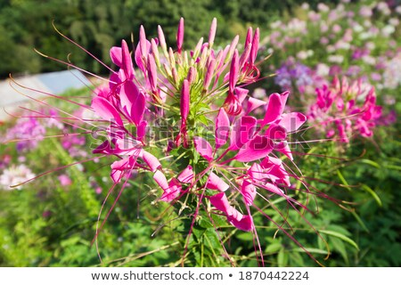 garden flowers of cleome with multi colored stock photo © yongkiet