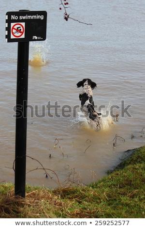 Photo stock: A Working Type English Springer Spaniel Pet Gundog Jumping An Ag